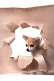 Chihuahua and paper hole Stock Photos