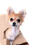 Chihuahua and paper hole Stock Images