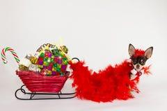 Chihuahua para la Navidad. Fotografía de archivo