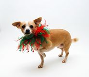 Chihuahua para o Natal Imagens de Stock Royalty Free
