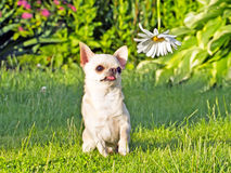 Chihuahua in park Stock Images