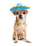 Chihuahua with a party hat Royalty Free Stock Photography