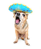 Chihuahua with a party hat Stock Image
