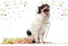 Chihuahua partying and yawming Royalty Free Stock Photos
