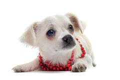 Chihuahua with pearl collar Royalty Free Stock Photos