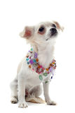 Chihuahua with pearl collar Stock Image