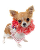 Chihuahua with pearl collar Royalty Free Stock Image