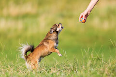 Chihuahua-Pekinese υβριδικά άλματα για μια σφαίρα Στοκ Εικόνες