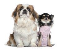 Chihuahua and Pekingese, sitting i Stock Images