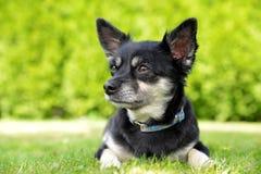Chihuahua pequena do cão da raça Imagem de Stock