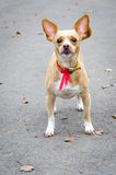 Chihuahua pet Royalty Free Stock Images