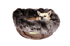 Chihuahua in pet bed. A little Chihuahua in a luxury feux fur pet bed Stock Image