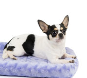 Chihuahua on pet bed Royalty Free Stock Images