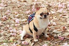 Chihuahua, piccolo cane Immagini Stock