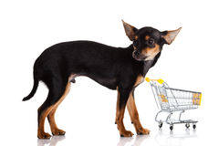 Chihuahua pies Fotografia Stock