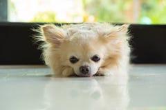 Chihuahua pies kłaść puszek obrazy royalty free