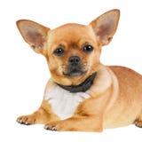 Chihuahua pies w Antym pchła kołnierzu Odizolowywającym na Białym tle zdjęcie stock