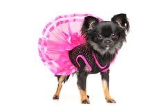 Chihuahua pies w modnej sukni Fotografia Stock