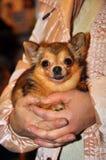 Chihuahua pies w rękach Zdjęcie Royalty Free