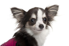 Chihuahua in pink, 1 year old, in front of white Royalty Free Stock Images