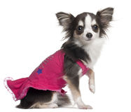 Chihuahua in pink, 1 year old, sitting Stock Image