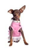 Chihuahua in Pink Royalty Free Stock Photo