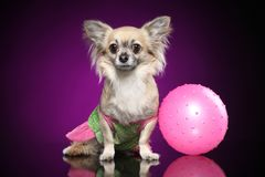 Chihuahua with pink ball in dog clothes royalty free stock photo