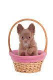 Chihuahua in pink basket Stock Photos