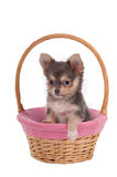 Chihuahua in pink basket Royalty Free Stock Image