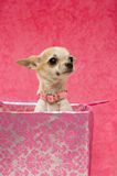 Chihuahua in a pink gift box Stock Photos