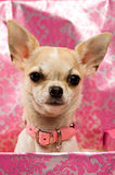 Chihuahua in a pink gift box Stock Photo