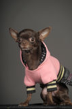 Chihuahua in a pink jacket Stock Image