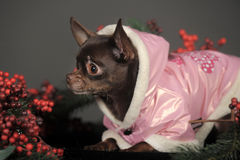 Chihuahua in a pink jacket Stock Photo
