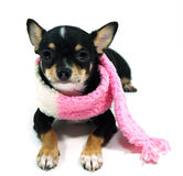 Chihuahua  in the pink scarf Stock Photography