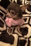 Chihuahua In Pink Royalty Free Stock Image