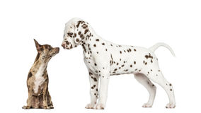 Chihuahua Pinscher sitting and dalmatian puppy Royalty Free Stock Photography