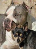 Chihuahua and pit bull. Two dogs small and big chihuahua and gray white pit bull Royalty Free Stock Photos