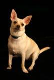 Chihuahua plakt uit Tong Stock Foto