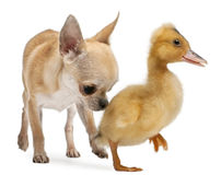 Chihuahua playing with a domestic duckling Royalty Free Stock Image
