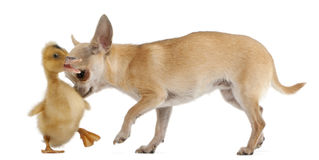 Chihuahua playing with a domestic duckling Royalty Free Stock Photos