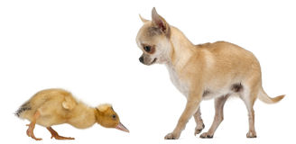 Chihuahua playing with a domestic duckling Stock Photos