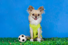 Chihuahua playing football Royalty Free Stock Photo