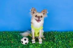 Chihuahua playing football Stock Photography