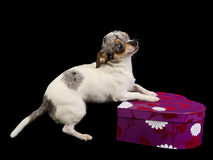 Chihuahua playing with gift box Stock Images
