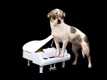 Chihuahua playing on piano Royalty Free Stock Photos
