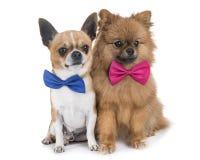 Chihuahua and pomeranian Stock Image