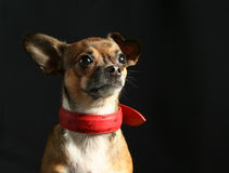 Chihuahua Portrait Stock Photography