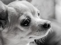 Chihuahua portrait black and white royalty free stock image