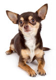 Chihuahua portrait. Chihuahua dog portrait on white background stock photography