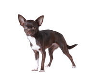 Chihuahua portrait isolated on white Royalty Free Stock Photos